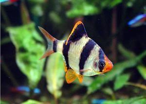 Grătar de pește Sumatran