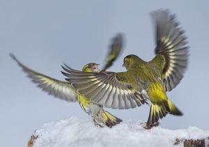 Frumusețea naturii-Bird-Čizh