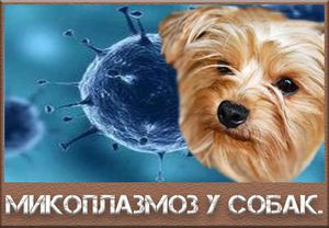 Micoplasmoza la câini: simptome și tratament