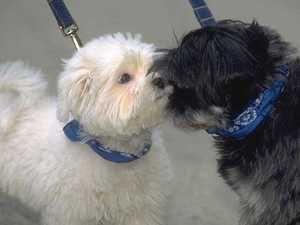 Mycoplasmoza este o boală a câinilor, ce ar trebui să fac?