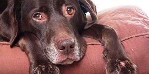 Bolile câinilor - diagnosticul de micoplasmoză