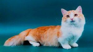 Pisica roșu-albă a rasei Munchkin