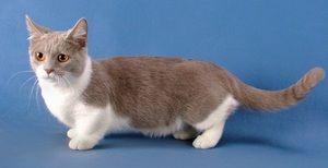 Albă-cenușie pisică-dachshund