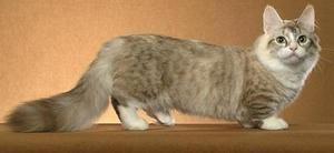 Munchkin pisică-dachshund