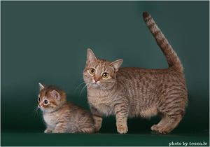 Munchkin - pisică și pisoi