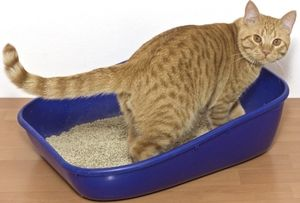 Cum apare urolitiaza la pisici?