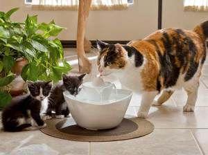 Este posibil să se prevină dezvoltarea urolitiazei la pisici
