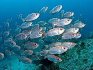 Specii de pești marine: descriere și caracteristici