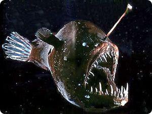 `Devil mare`: ciclism de viață pește pescar de mare