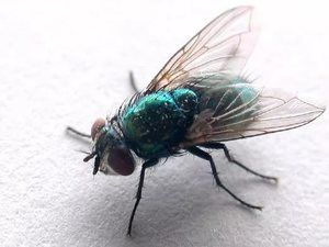 Insecta verde acoperi