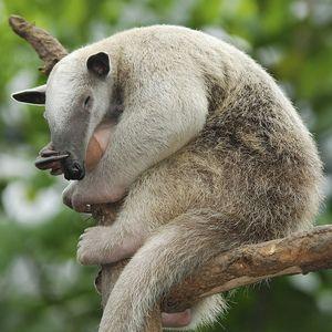 Limba anteaterului