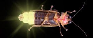 Firefly de insecte: ce se hrănește, unde trăiește și de ce strălucește?