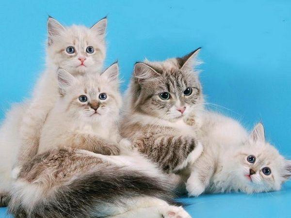 Rase de pisici din blana