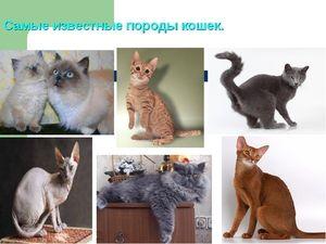 Soiuri de rase de pisici