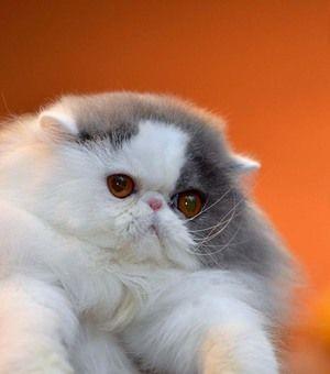 Care sunt rasele de pisici?