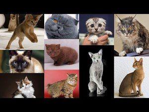 Cele mai populare rase de pisici