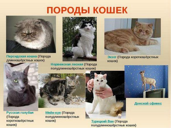 Ce rase de pisici sunt mai bune