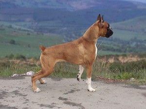Boxerul german: o rasă uimitoare de câini