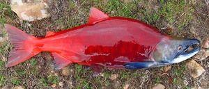 Nerka: ce este acest pește și care este utilizarea lui