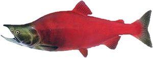 somon roșu