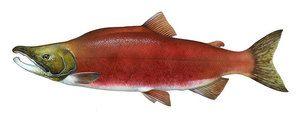 Peștele Nerka care este utilizarea lui