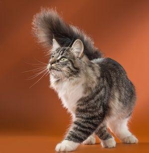 Descrierea pisicii norvegiene