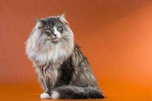 Aspectul unei pisici norvegiene