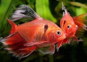 Peștii minori din acvariu