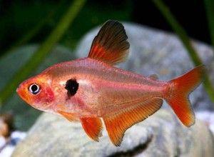 pești mici
