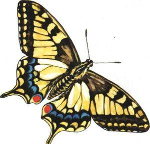 Cum arată fluturele ca un machaon