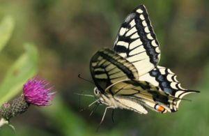 Tipuri și subspecii mahonilor fluture