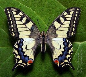 Cât timp fluture trăiesc mahaon