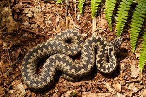 APPS - familie de șerpi otrăviți