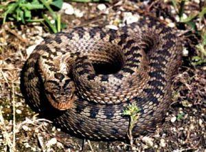 Viper vulgaris - Cum arată