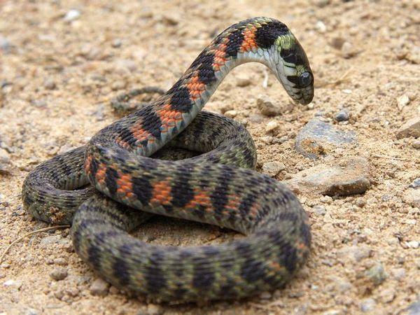Vipera este o reptilă otrăvitoare periculoasă