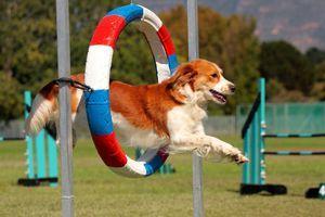 Jocurile Olimpice pentru câini. Această agilitate
