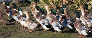 Băieți de culoarea bashkir în fermă