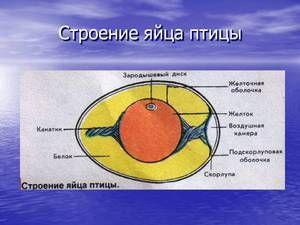 Descrierea și caracteristicile structurii de ouă a păsărilor