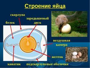Descrierea structurii oului pasărelor