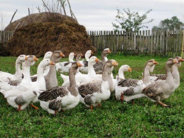 Gâște de creștere a păsărilor domestice