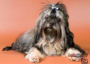 Descrierea rasei de câini lapdog rusesc
