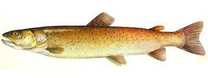 Descrierea peștilor de păstrăvi. Diferențele dintre mare și râu variegate