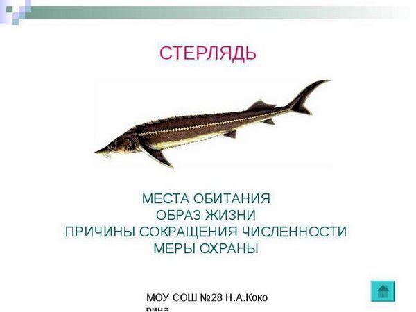 Sterlet-sturion de pește