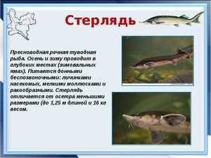 Descrierea peștelui Sterlet