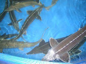 Descrierea sterlei de pește - ce hrănește și cum să plantezi