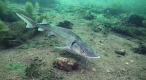Creștere de pește Sterlet