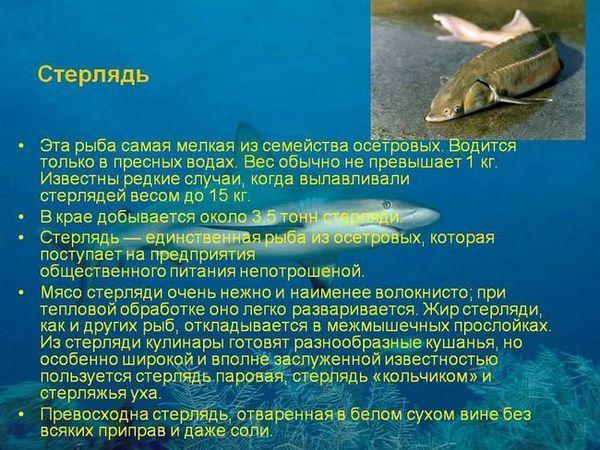 Ce să mănânce și cum să reproducem Sterlet de pește