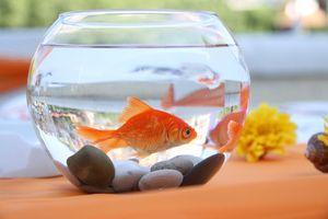 Descrierea peștilor populari de acvariu pentru uz casnic