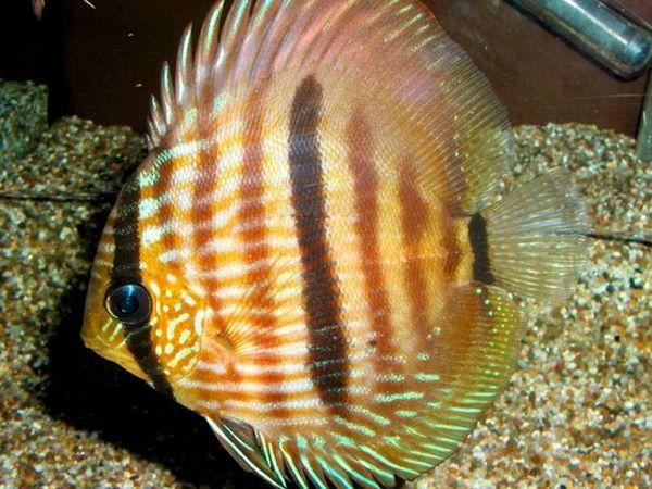Tipuri de pește populare pentru întreținerea internă