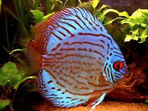 Cum sa alegi un pește decorativ pentru un acvariu?
